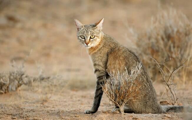 O Felis silvestris lybica (ou Gato-Bravo) é o ancestral do gato comum. O seu habitat árido fazia com que ele não tivesse muito contato com a água.