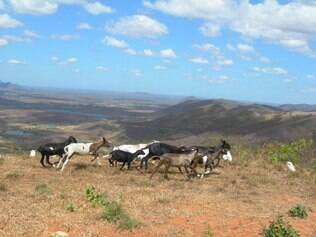 Cabras no semiárido brasileiro: regime de chuvas favoreceu a região, mas ainda é incipiente