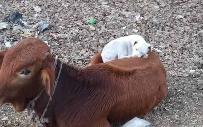 Vaca e cão
