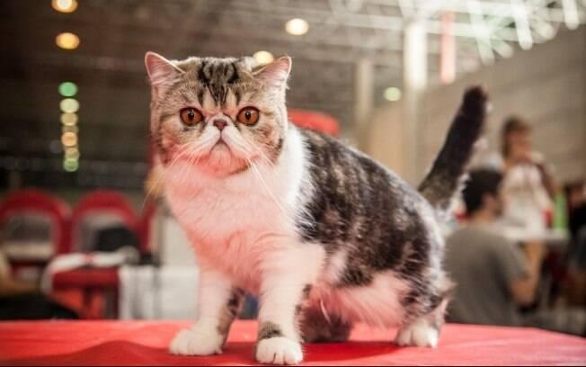 Cuidar da estética dos gatos exige investimento, mas, segundo criadores, compensa a longo prazo