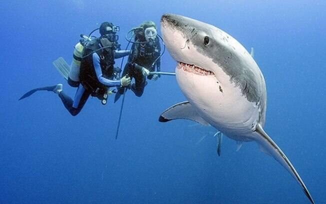 Tubarão branco pode ser encontrado por um fã com o novo aplicativo