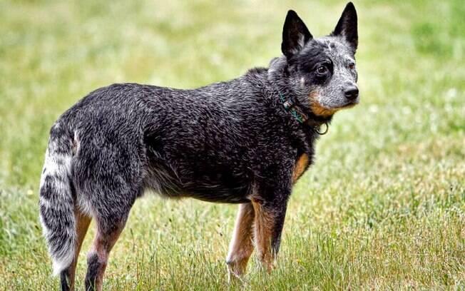 O Austrian Cattle Dog está em décimo lugar no ranking das raças de cachorros mais inteligentes