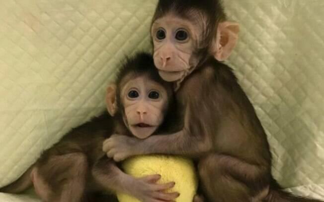 Macacos clonados têm cerca de 7 e 8 semanas de idade e são chamados de Zhong Zhong e Hua Hua