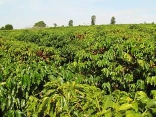 O último mês de maio registrou perdas de 10% no preço do café