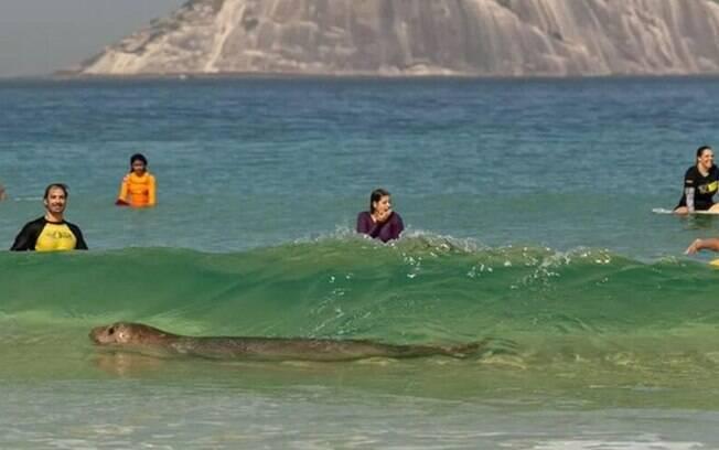 Elefante-marinho foi flagrado nadando bem próximo de banhistas e surfistas