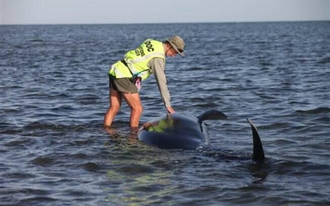 Funcionário do departamento de conservação ajuda baleia encalhada na Nova Zelândia; local é considerado armadilha natural, por causa das águas rasas