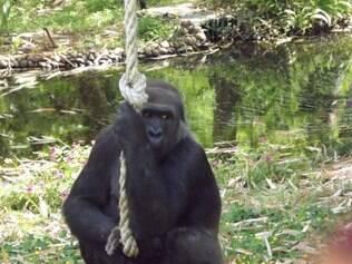 Gravidez da gorila Imbi foi confirmada nesta segunda (2)