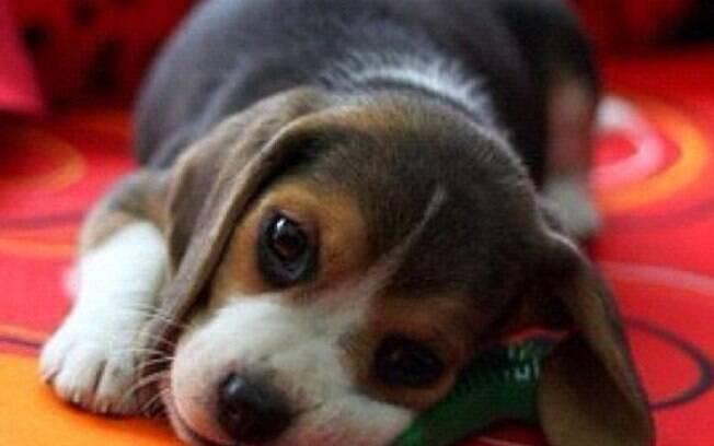 Pets também podem ter dor de cabeça e o tutor precisa identificá-la