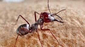 Espécie de formiga ganha nome neutro