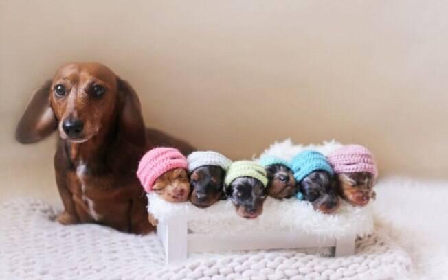 Cachorra salsicha com seus filhotes em álbum de maternidade.