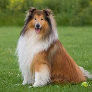 O collie é um cachorro que se encaixa ao signo de virgem
