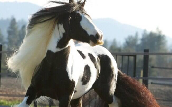 Os cavalos da raça Gypsy Vanner possuem maior tendência a ter bigode