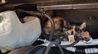 ONG alerta para gatos que se escondem no motor dos carros