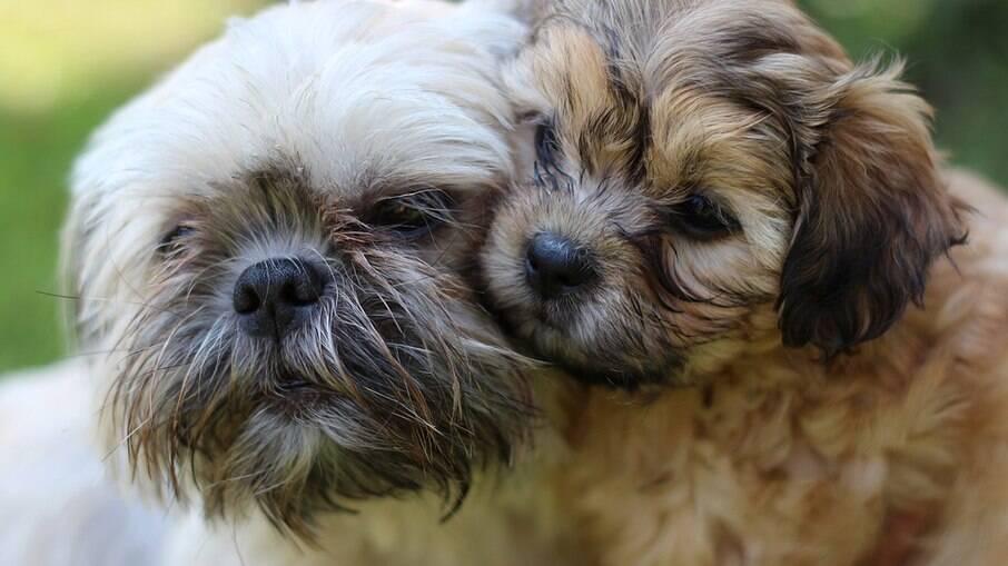 Os cães da raça Shih-Tzu são propensos a uma série de doenças, veja quais são algumas das principais delas