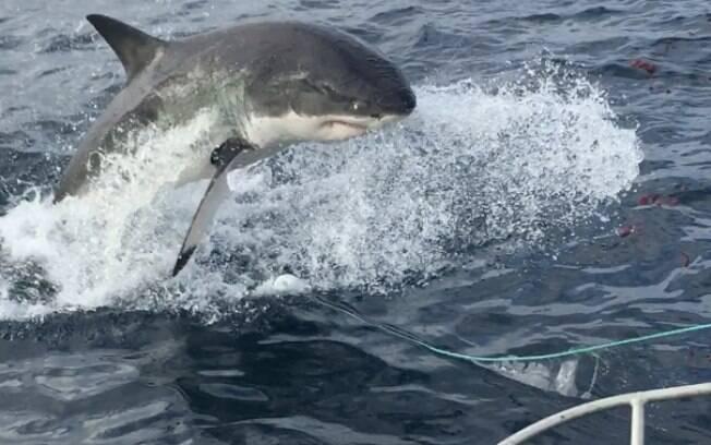 tubarão braco salta mar