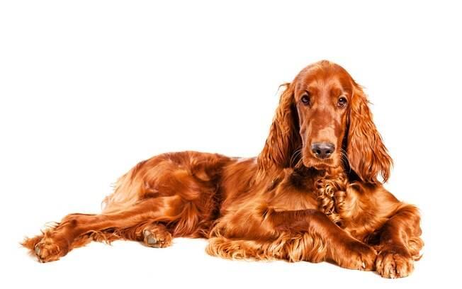 Além de ser bonito, uma pelagem brilhosa reflete a saúde e bem-estar do cachorro