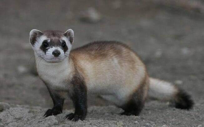 O furão também faz parte da lista dos animais exóticos