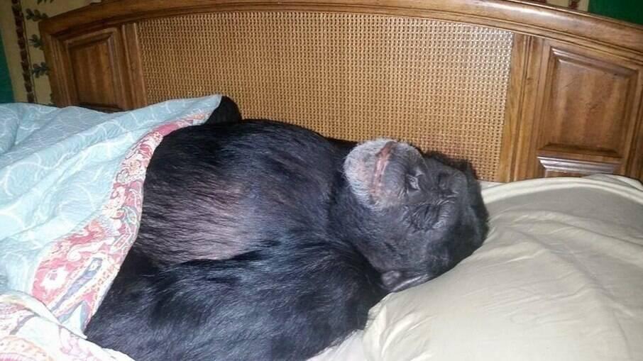 O chimapnzé Buck teve que ser abatido pela Polícia após atacar a própria dona