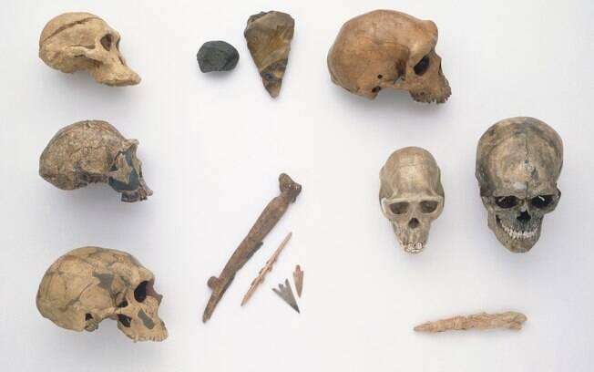 Crânios de Homo erectus, Neanderthal, Australopithecus , Homo sapiens e de um chimpanzé