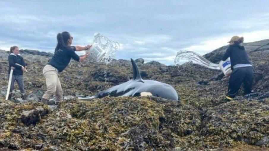 Orca encalhada nos EUA