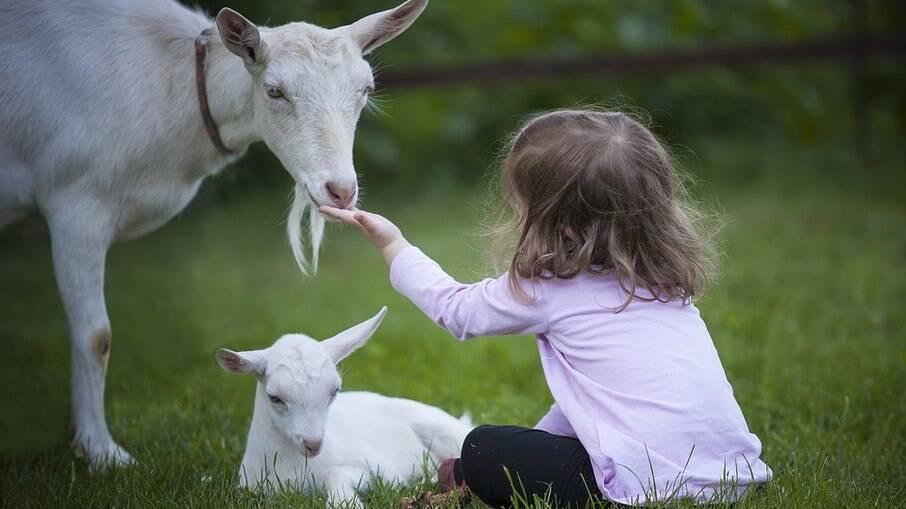 Cabras e bodes são tão dóceis quanto cães e gatos