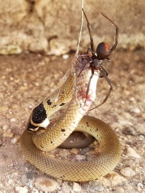 Australiana registra momento em que aranha vermelha engole filhote de cobra