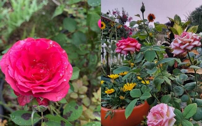 Guia completo para plantar rosas em casa!