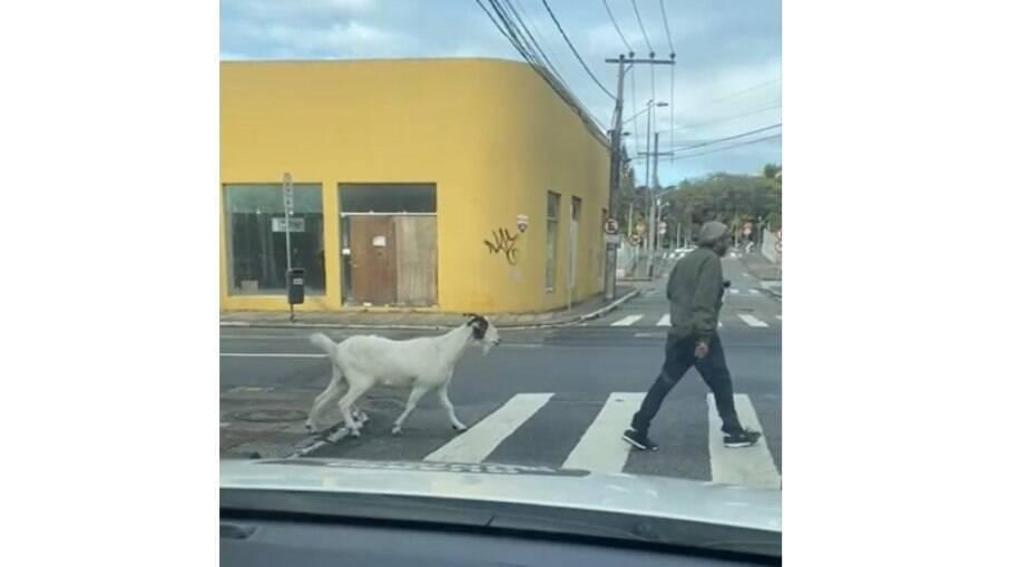 Bode é flagrado solto atravessando rua em Floorianópolis