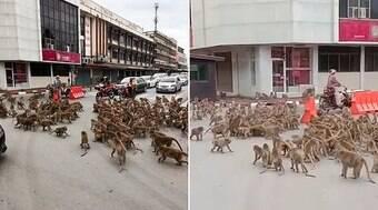 Macacos se encontram e brigam em rua da Tailândia; veja o vídeo