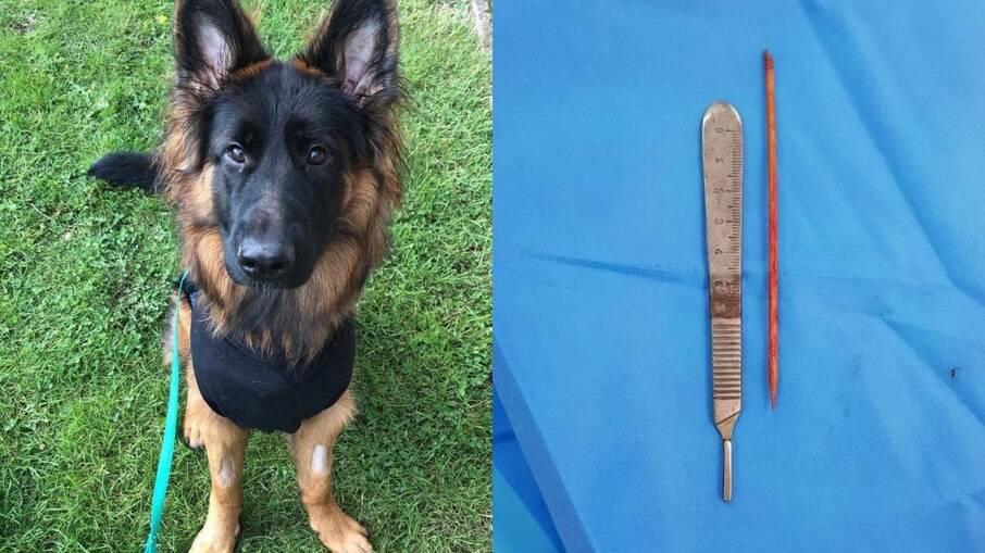 Bear se recuperando da cirurgia e o espeto com pouco mais de 10 cm