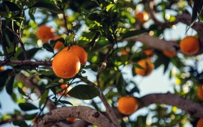 Confira simpatias com laranjeiras