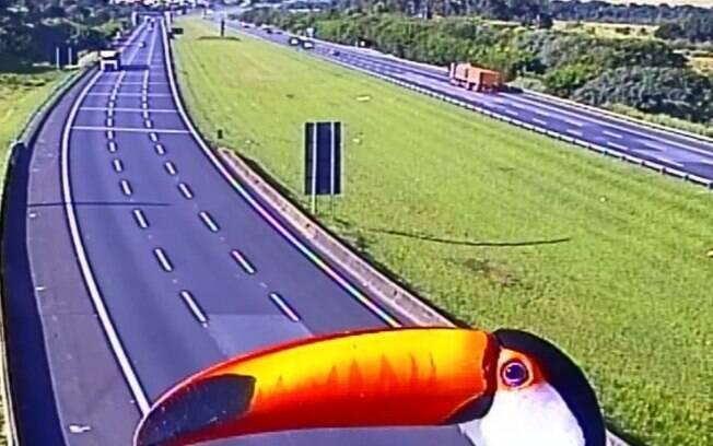 Pica-pau e tucano se exibem para câmeras de rodovias, em Campinas