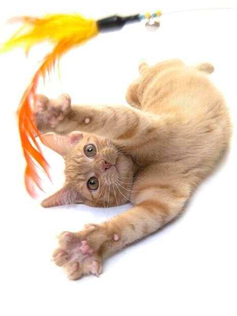 Os gatos precisam ser incentivados a praticar exercícios se deseja que a dieta funcione e ele reduza o peso