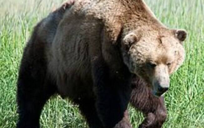 Urso-pardo atacou a família que caminhava  pela floresta perto de Game Creek, no Alasca