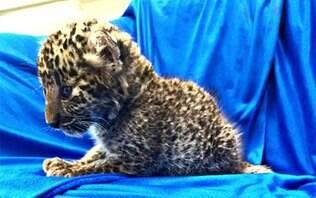 Filhote de leopardo é encontrado dentro de bagagem em aeroporto na Índia