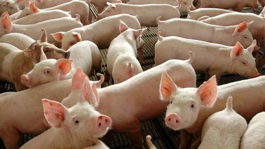 Focos de peste suína clássica foi registrada no Ceará