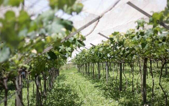 Em Jundiaí, é possível conhecer parreiras de uvas e ver de perto a onde são produzidos os vinhos