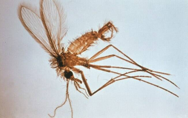 A leishmaniose é transmitida pelo mosquito Lutzomia Longipalpis
