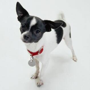 Chihuahua - undefined