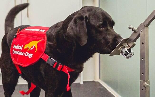 Como cães farejadores podem ajudar a detectar viajantes com covid em aeroportos