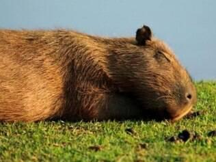 MPMG solicita soltura de capivaras mantidas na Fundação Zoo-Botânica