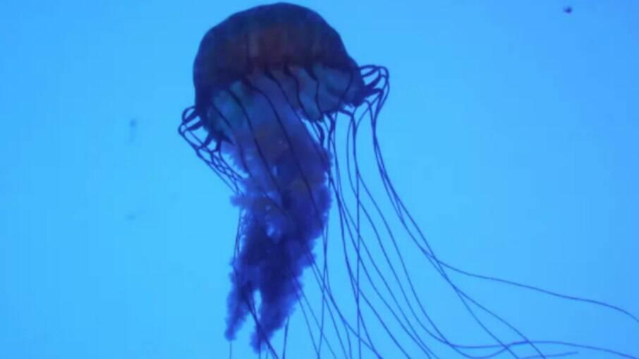 O animal se parece com uma água-viva e possui o pior veneno encontrado entre os seres marinhos