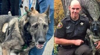 Cão da polícia leva tiro na cabeça, sobrevive e é homenageado
