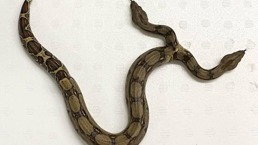 Cobra de duas cabeças criada na Alemanha