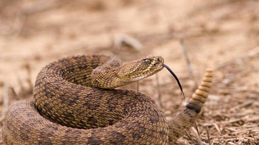 Ter Covid grave é semelhante a levar picada de cobra cascavel, diz estudo