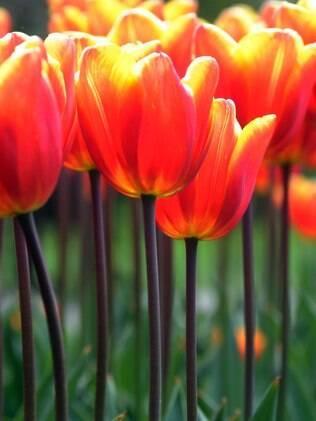 Elimine do jardim plantas venenosas como as tulipas que podem provocar danos gastrointestinais