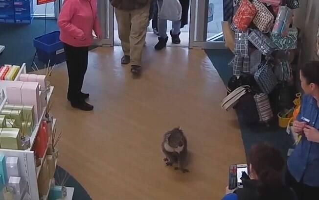 Em uma cidade do interior da Austrália, um simpático coala resolveu explorar novos lugares  na proximidade de seu habitat