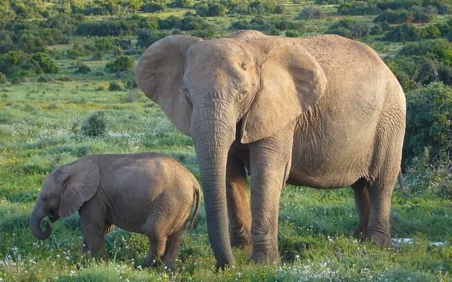 Os elefantes, com uma baixa taxa de mortalidade por câncer, podem ter um mecanismo genético de combate a esta doença