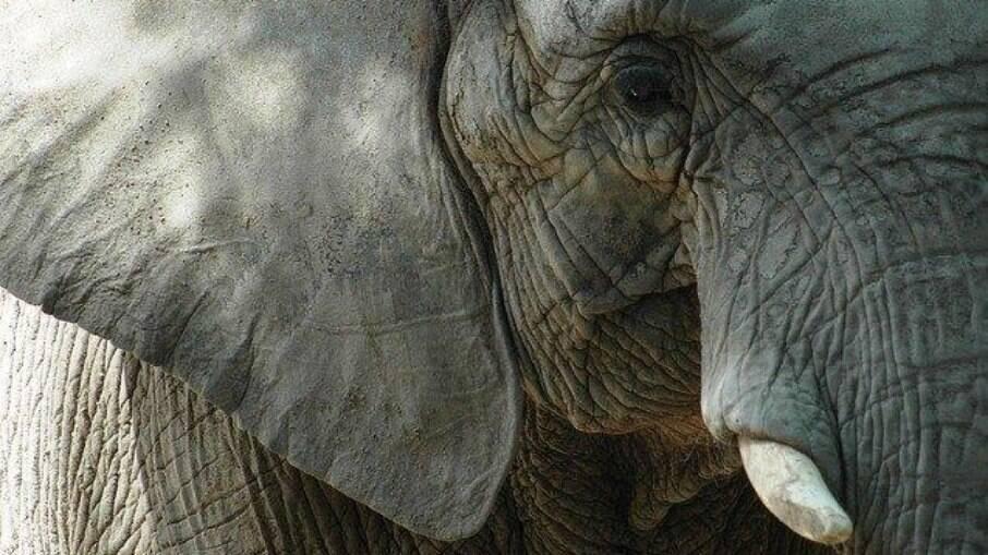 Elefante selvagem