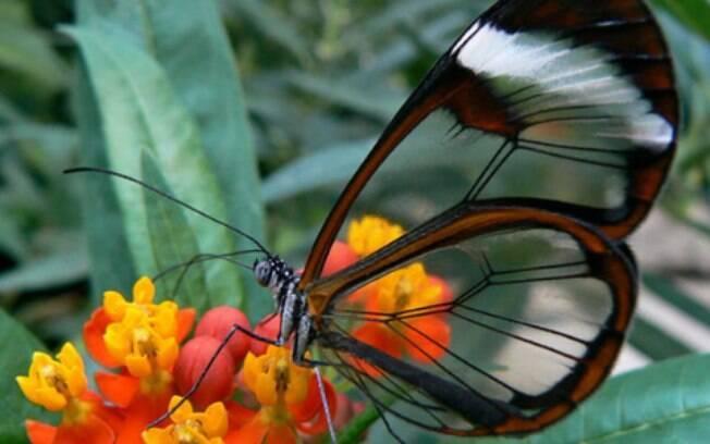 A borboleta transparente é uma representante não aquática dos animais transparentes